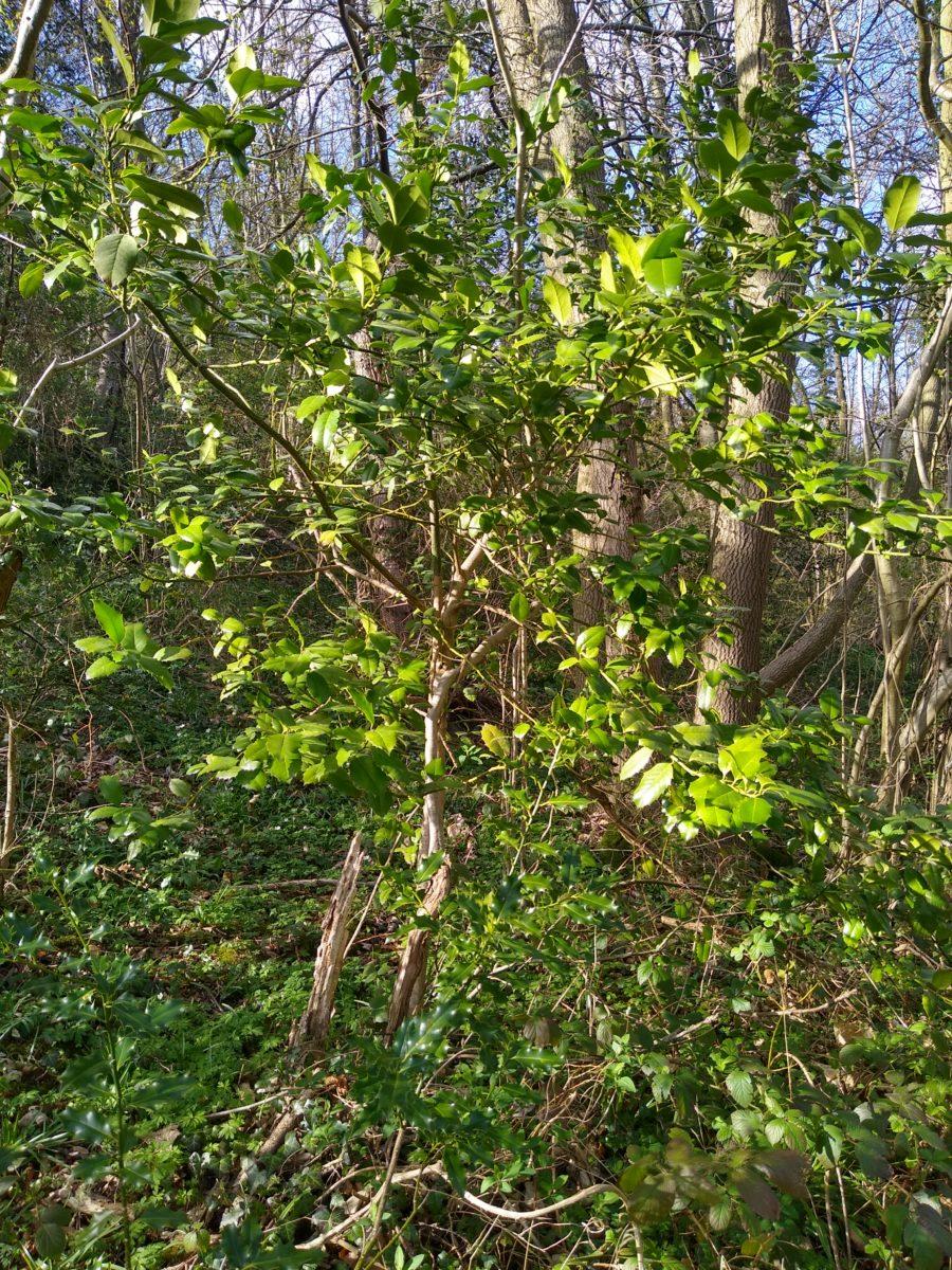 Ilex aquifolium - Ilex x altaclerensis hybrid in Saltburn Valley Gardens